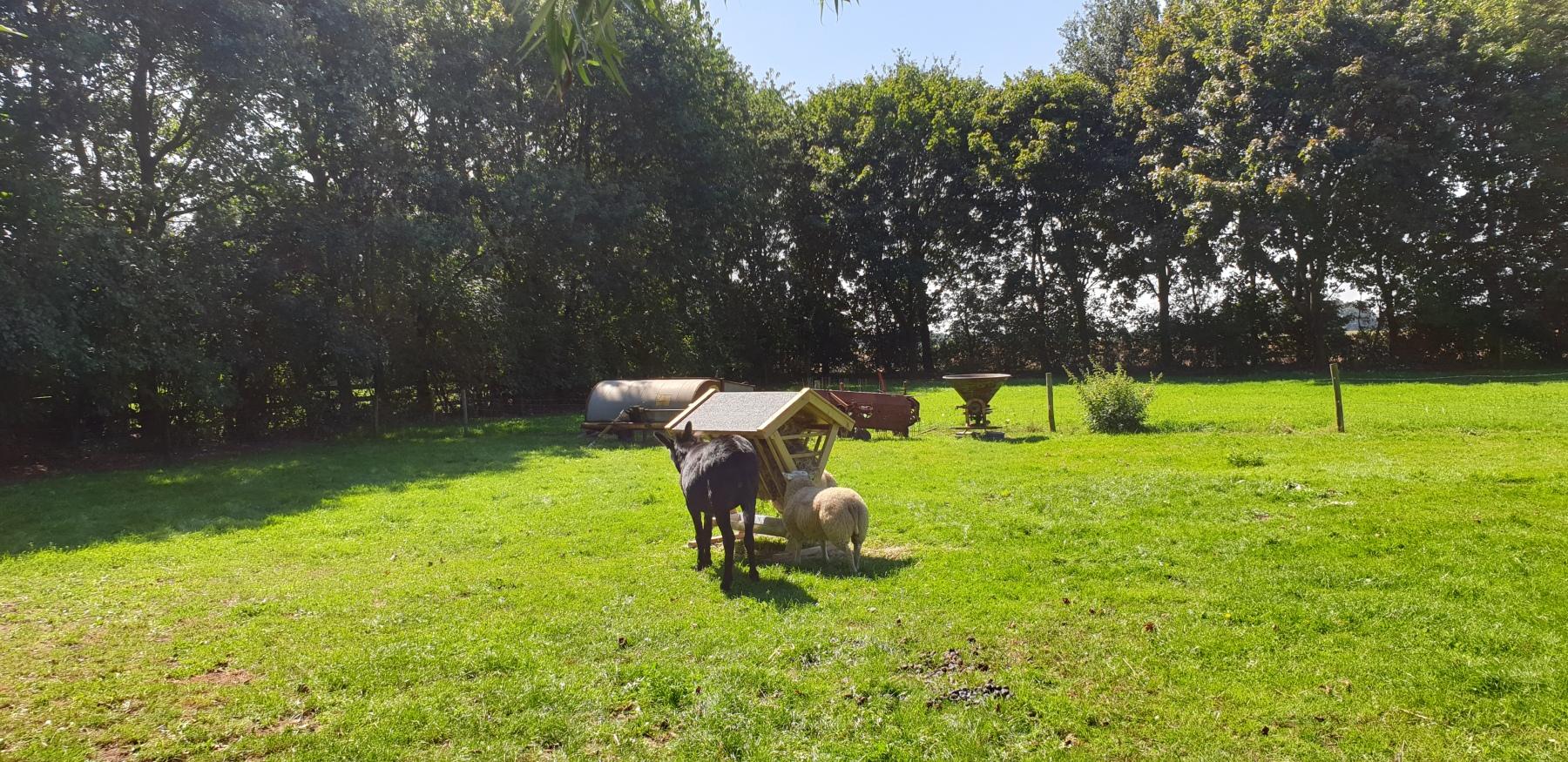 Saartje onze ezel en de schapen